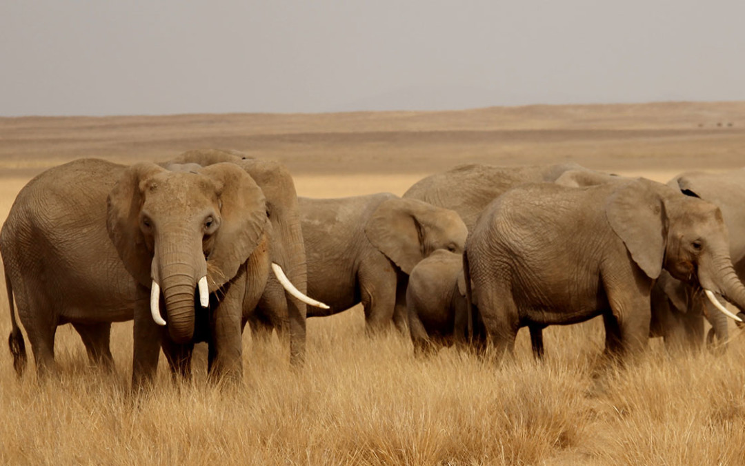 News from the Amboseli Trust for Elephants